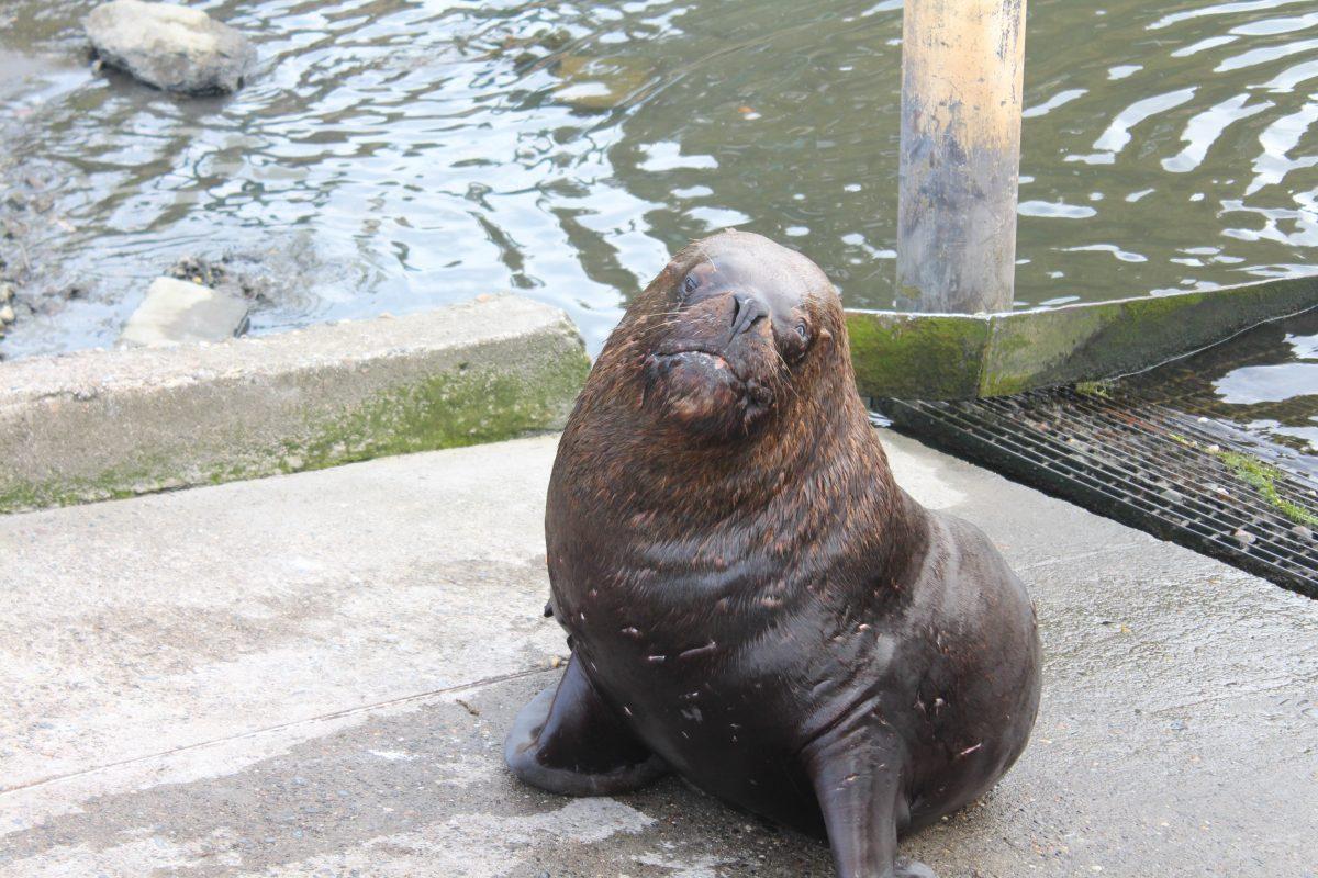 אריות ים בולדיביה