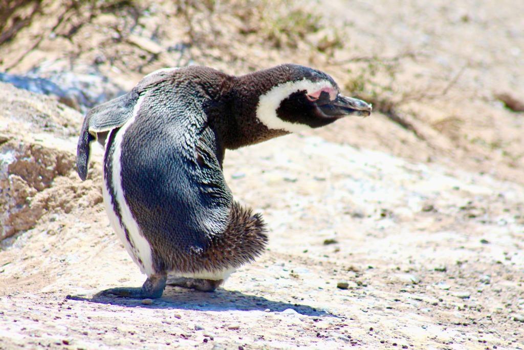 פינגווין בחצי האי ולדז