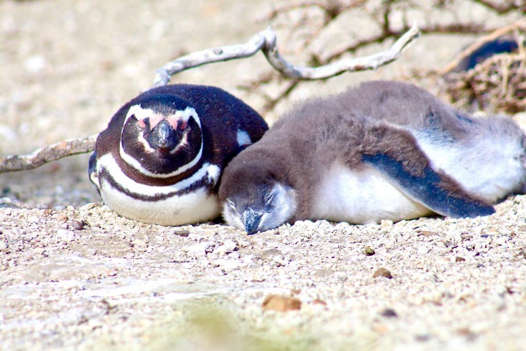 אמא ופינגווין ילד