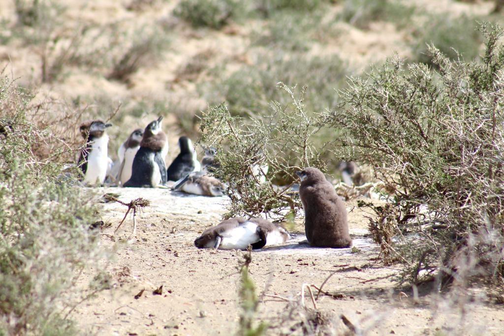 פינגווינים קטנים וחמודים