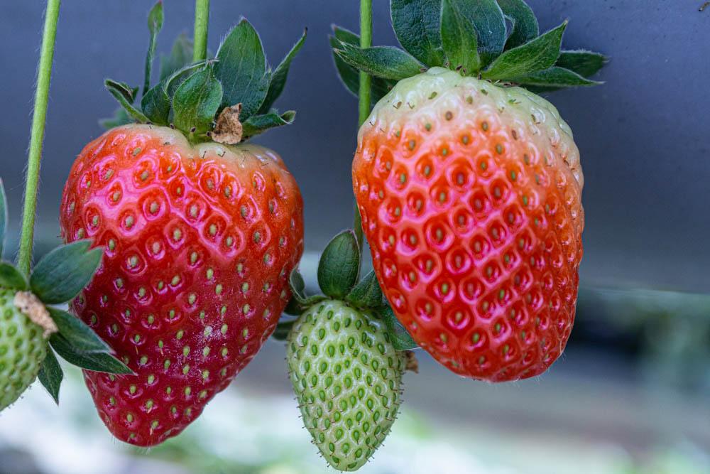 תותים