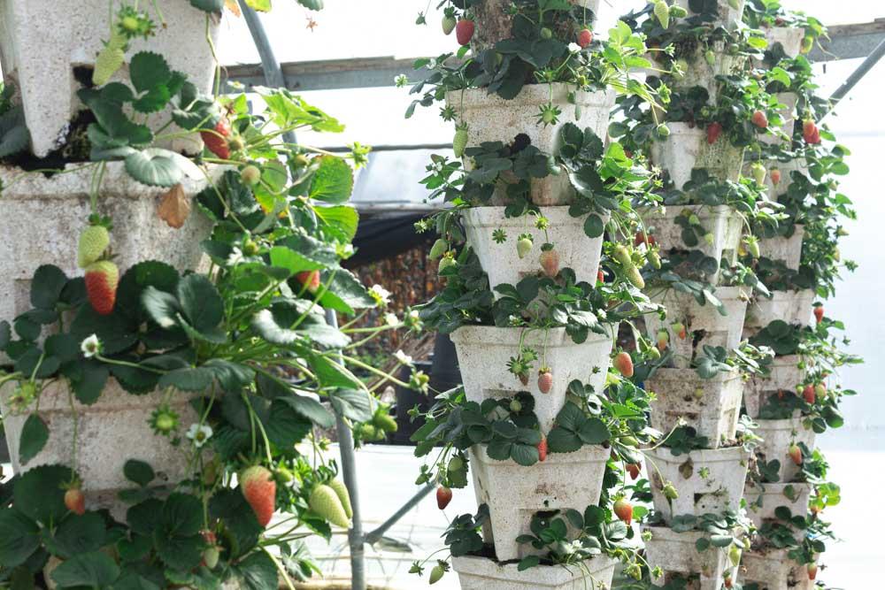 גידול תותים בהדליה