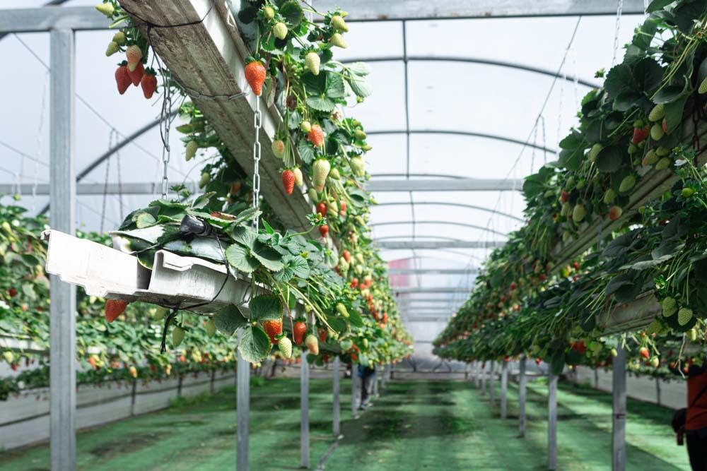 חממת תותים נגישה